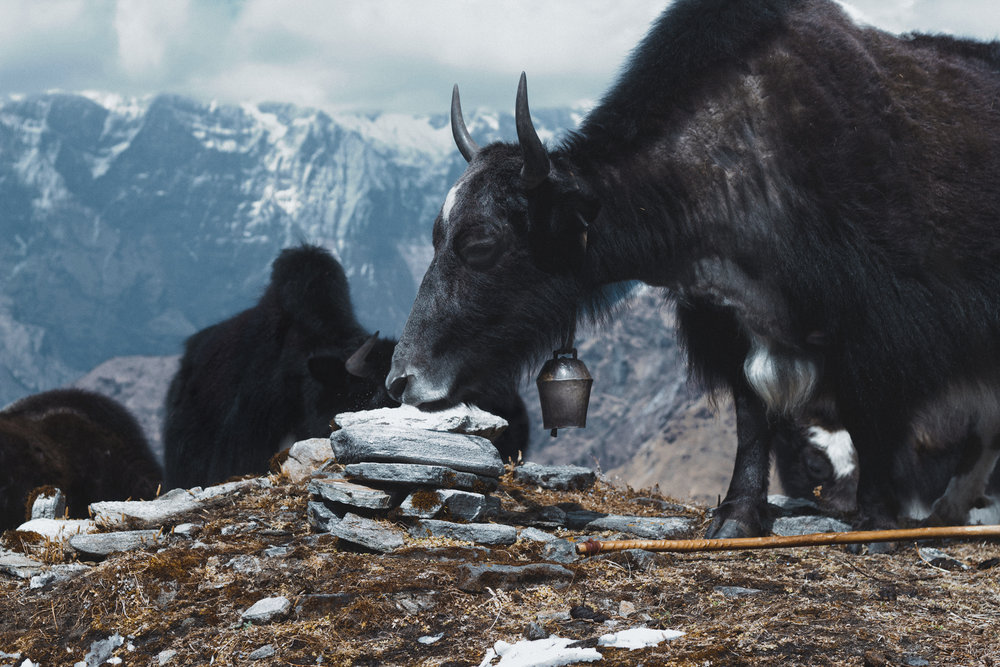 khopra-ridge-yak-herder7.jpg