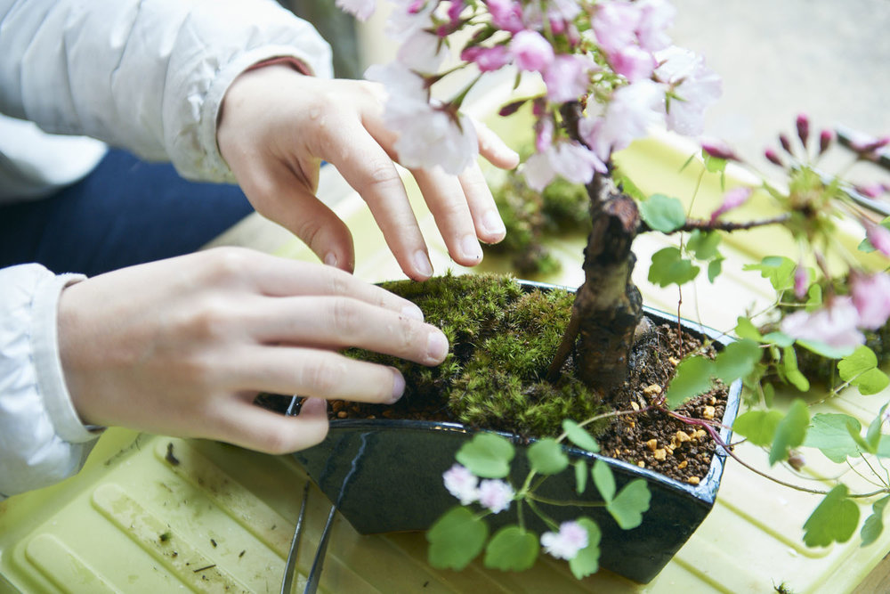 tokyo_bonsai_cherry_blossom_sakura_165.jpg