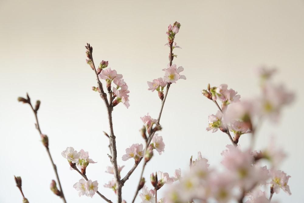 detouur_sakura_cherry_blossoms_ikebana_1.jpg