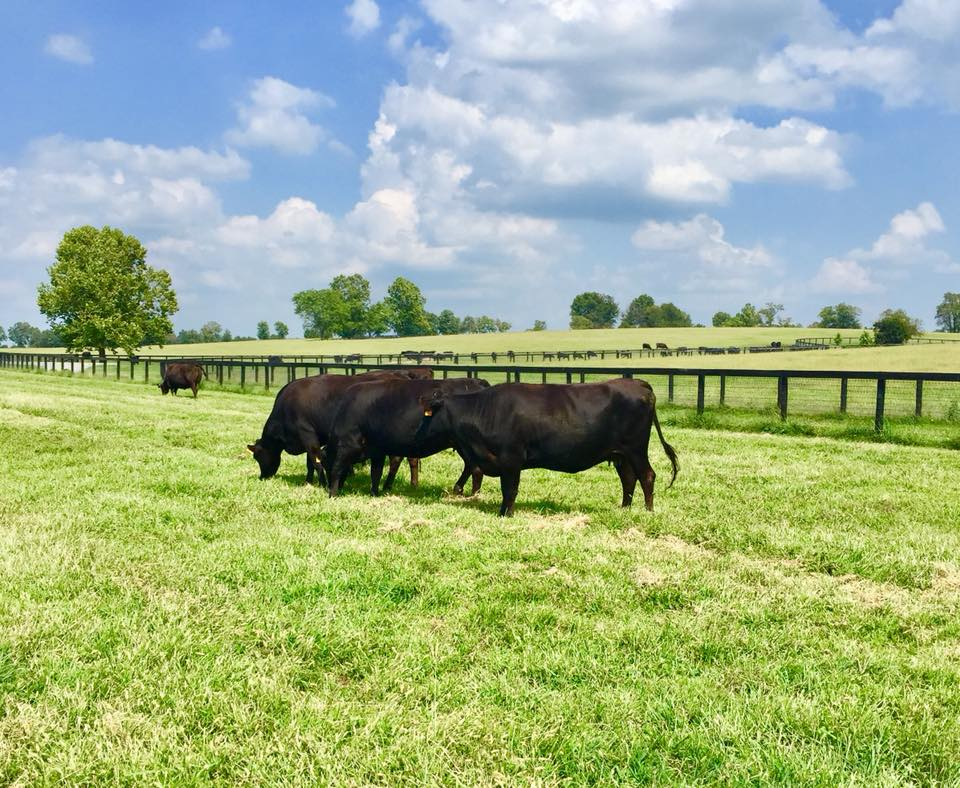 Golden Age Farm Cattle 004