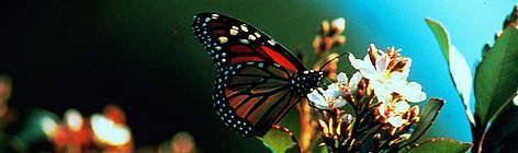 Monarch Banner.jpg