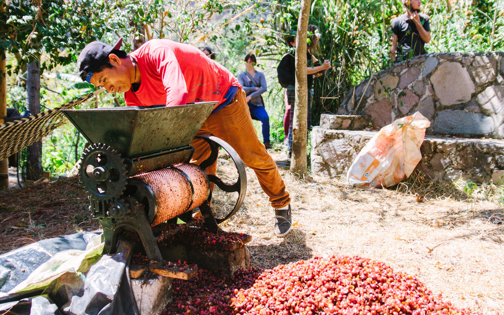 Coffee harvest at Atitlan Organics