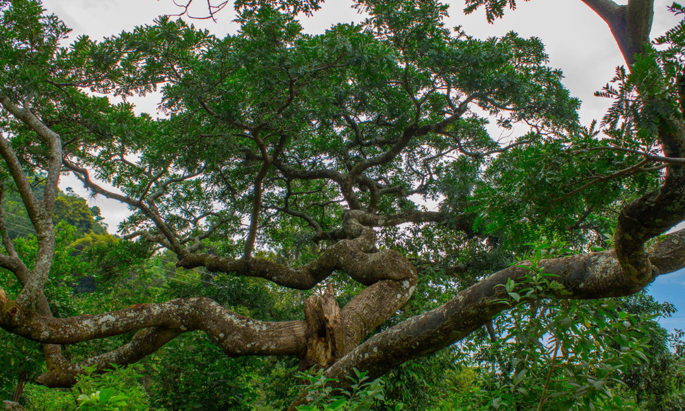 Jocote tree as branching of Bronchial-Pulmonary system, Permaculture for the Herbalist's Path, an integrated Permaculture Design Certification and Herbal Studies Course, September 23-October 18, 2019 with Bambu Guest House, Atitlan Organics, and Punta Mona at Lake Atitlan, Guatemala