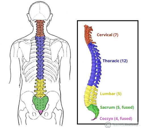 Westcoast SCI - The role of each part of your spine