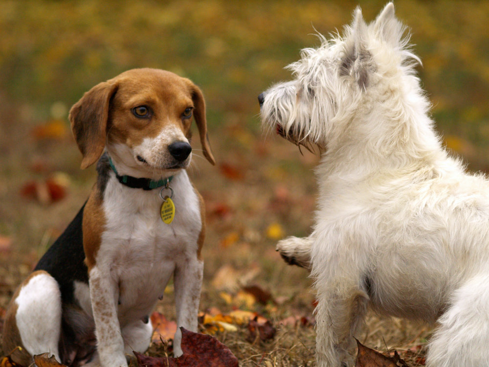 Beagle & terrier.jpeg
