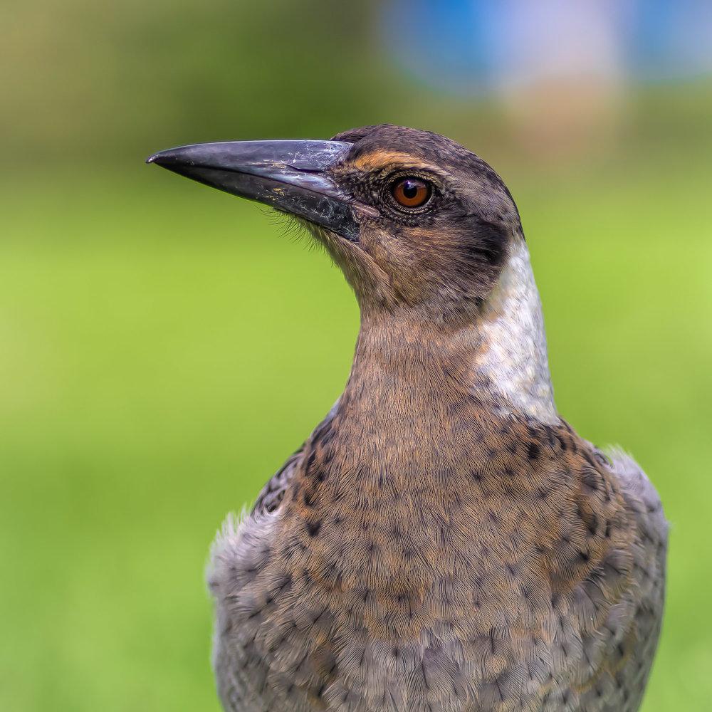 Magpie Portrait #2