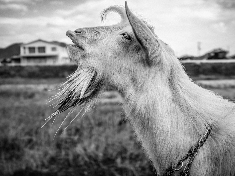 A fellow goat I met one chilly morning on the Shikoku Pilgrimage, 2017.