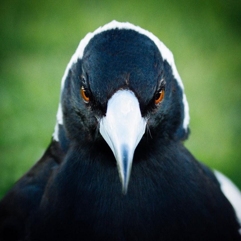 Magpie Portrait #19