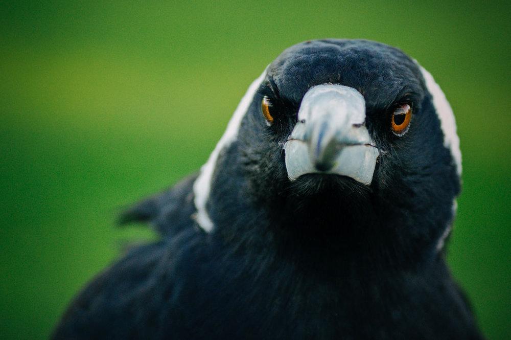 Magpie Portrait #8