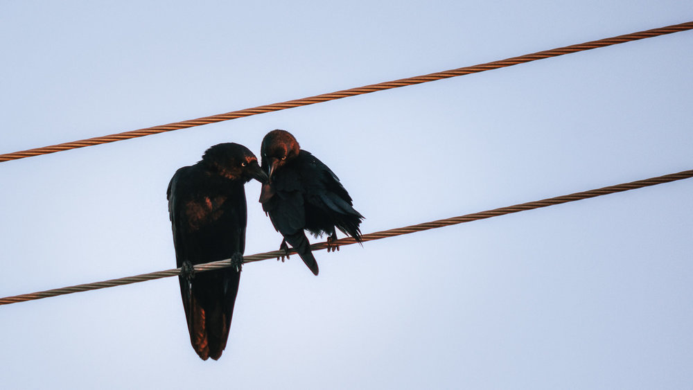 A crow parent, presumably the mother, on the left, with her infant.