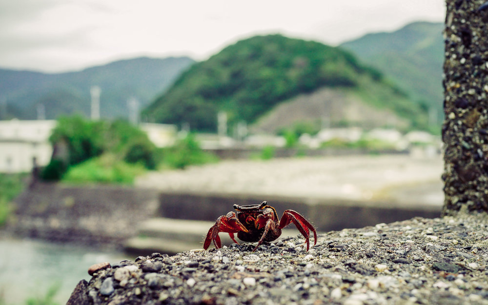 Crab on the sea-wall, Kochi. Kochi is crab country. Even on mountain roads, you often see scuttling crustaceans on the roadside.
