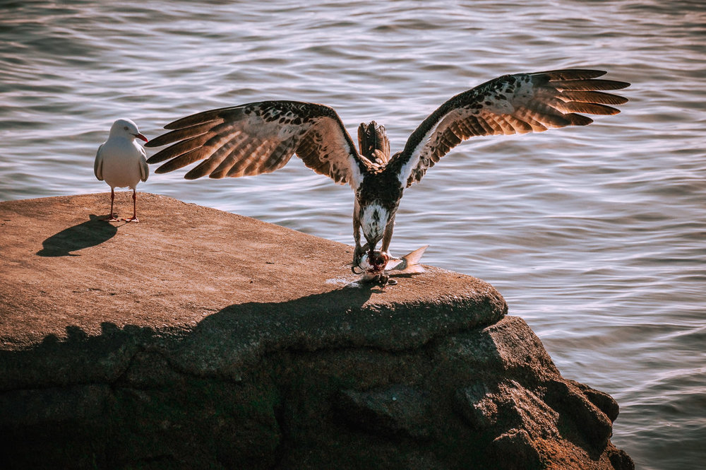 Pupil & teacher: Relocated to another groyne, the osprey begins the gruesome task of preparing breakfast, closely watched by an attentive gull.