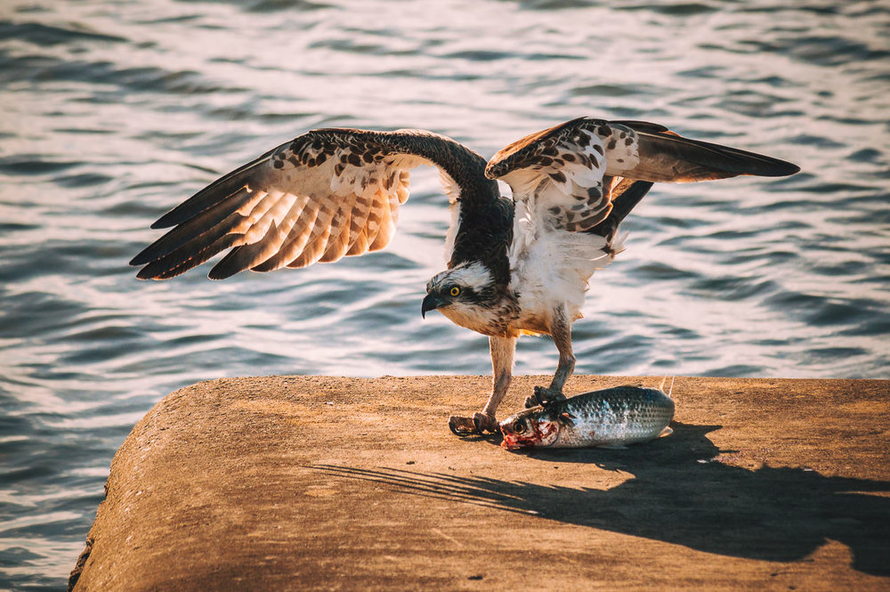 I'd rather come back as an osprey than a mullet.