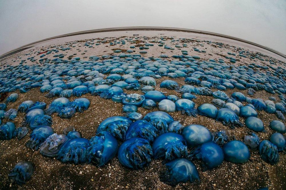 Blue Blubber Invasion, Sandgate