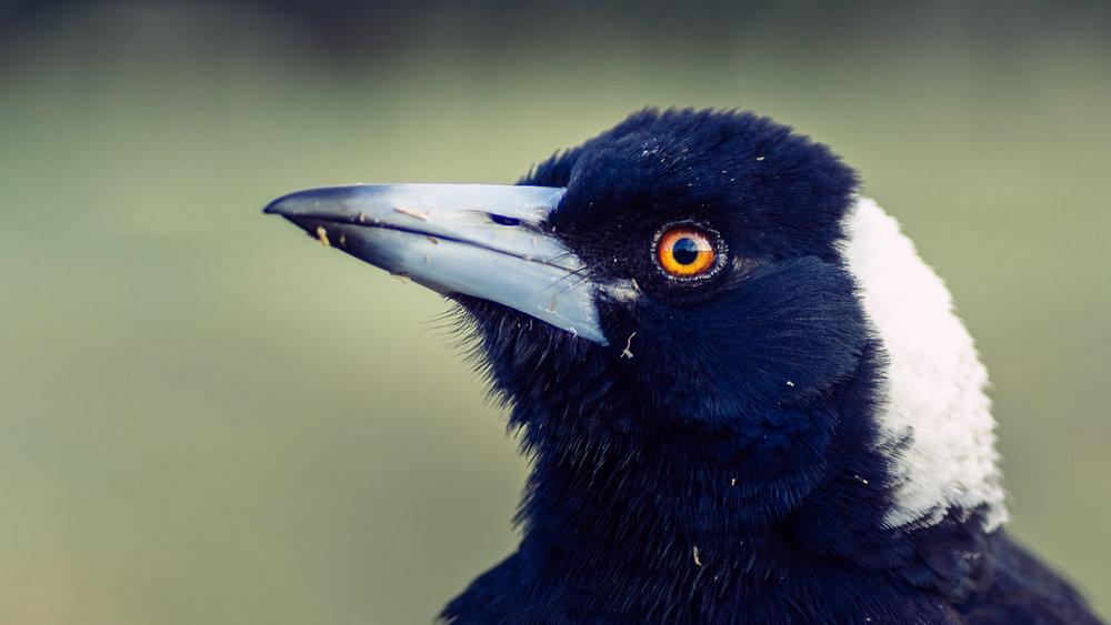 Magpie Portrait #10