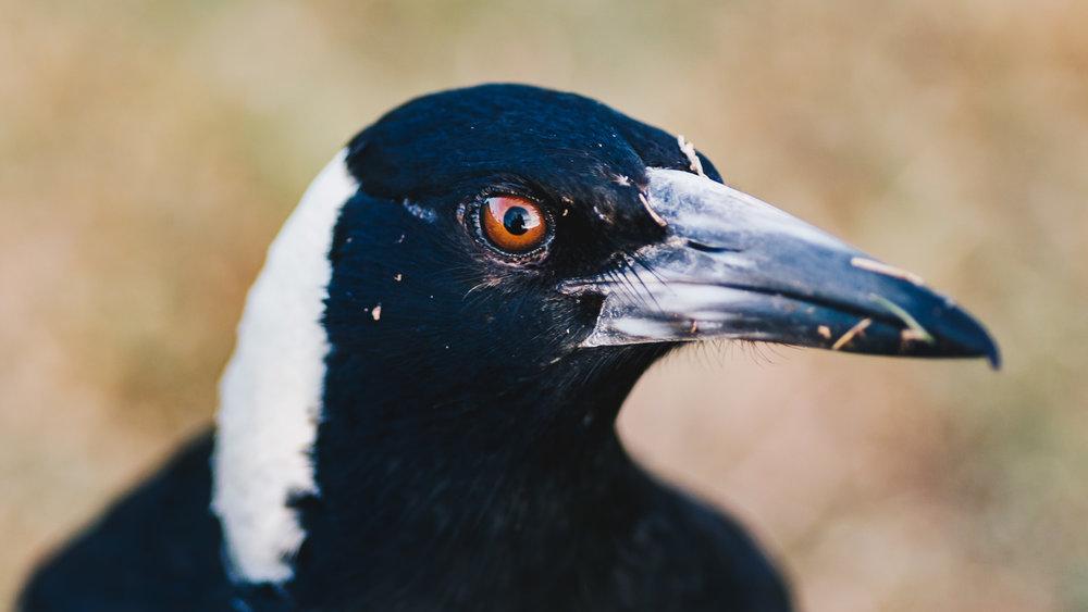 Magpie Portrait #12
