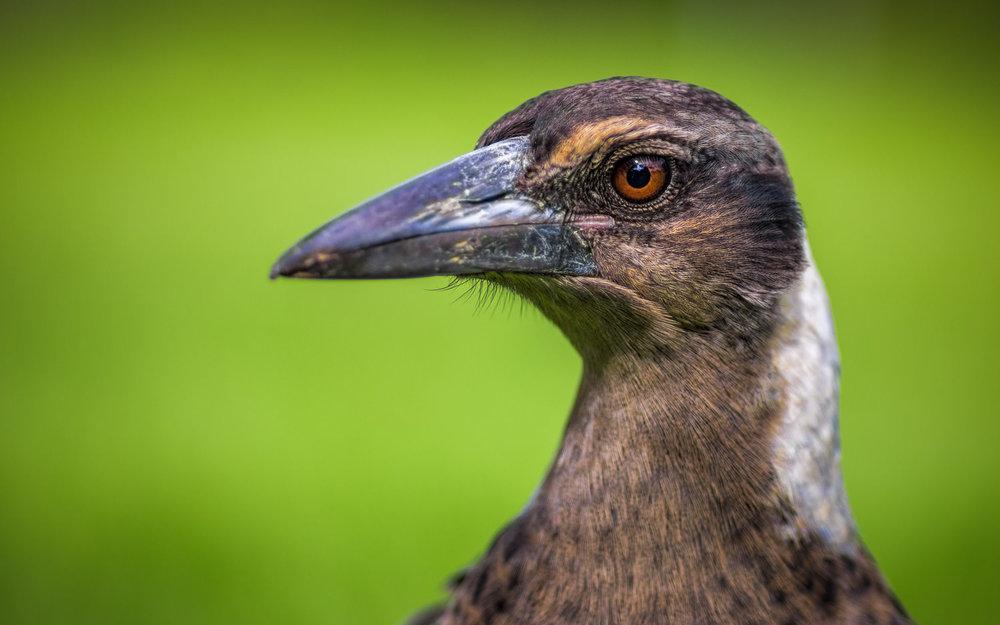 Magpie Portrait #11