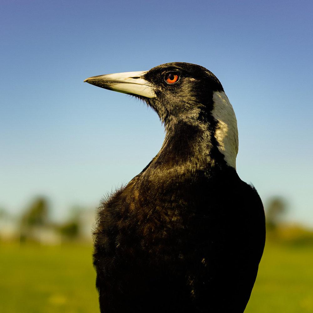 Magpie Portrait #13