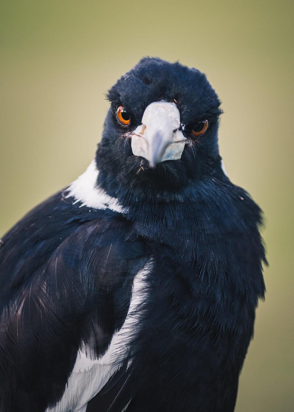 Magpie Portrait #16