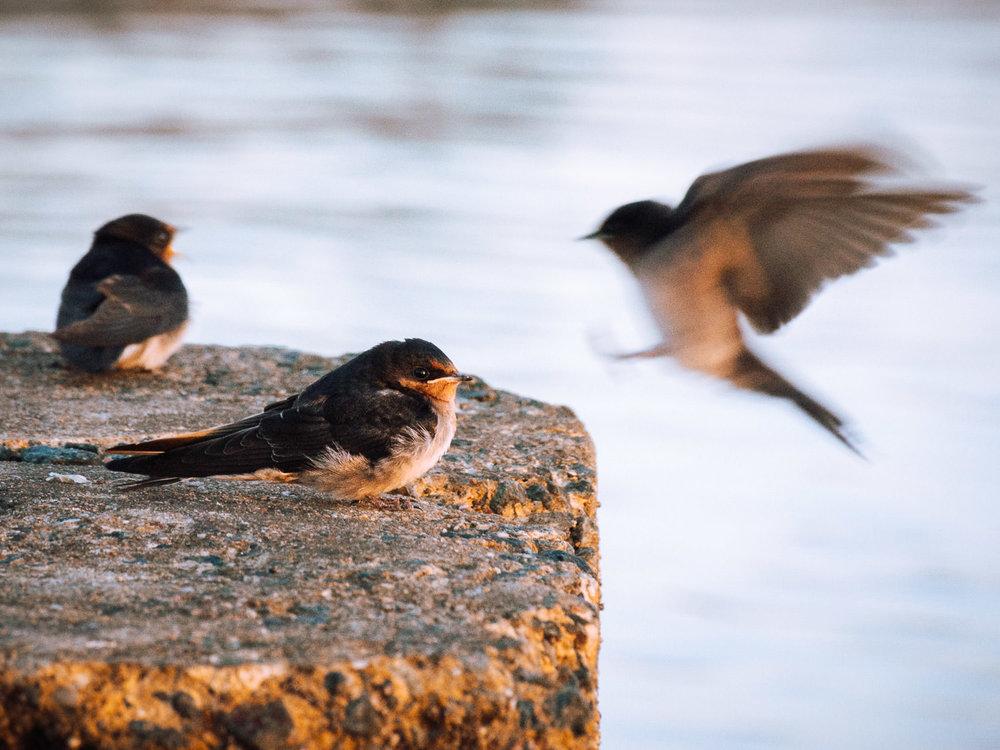 waterfront-swallows-sandgate-dawn-11.jpg