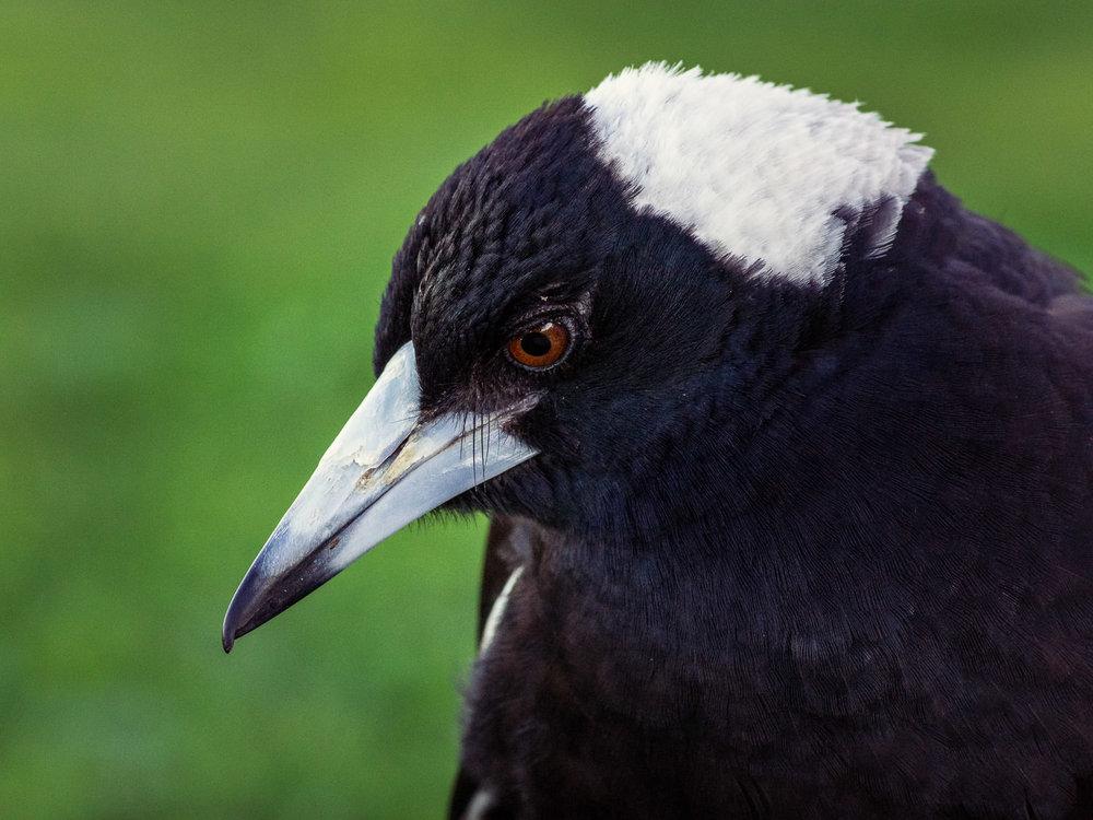 Magpie Portrait #17