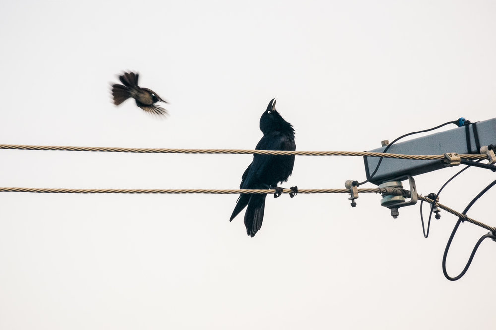 crow-&-willy-wagtail-1.jpg