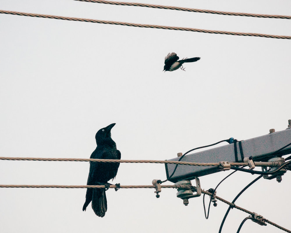 crow-&-willy-wagtail-2.jpg