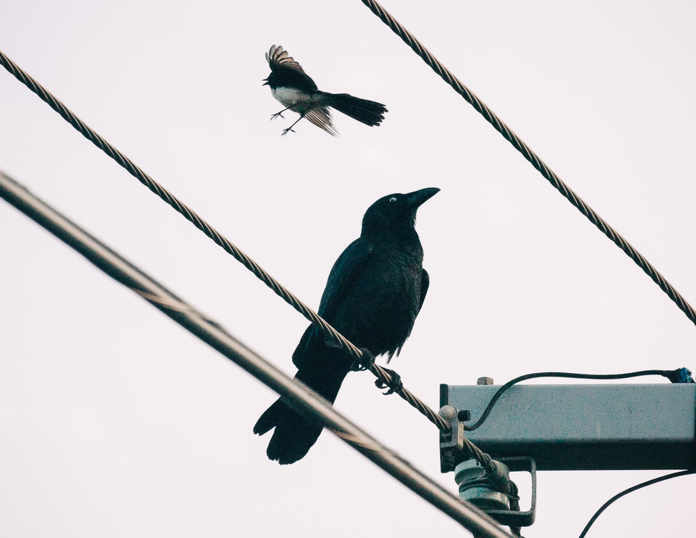 crow-&-willy-wagtail-4.jpg