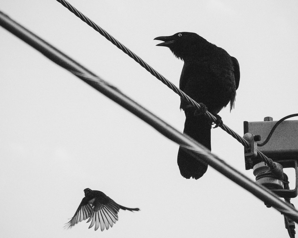 crow-&-willy-wagtail-5.jpg