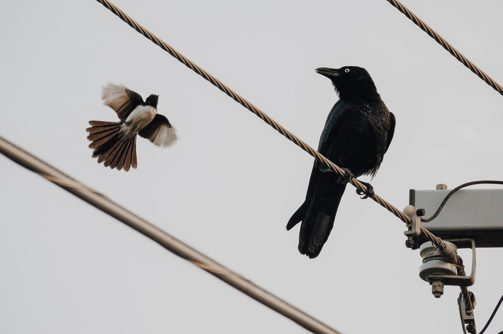 crow-&-willy-wagtail-6.jpg
