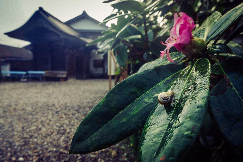 Day 30, Sept 25, 2015: A Snail Traversing a Rhododendron Leaf at Iwamoto-ji, Temple #37, Kochi