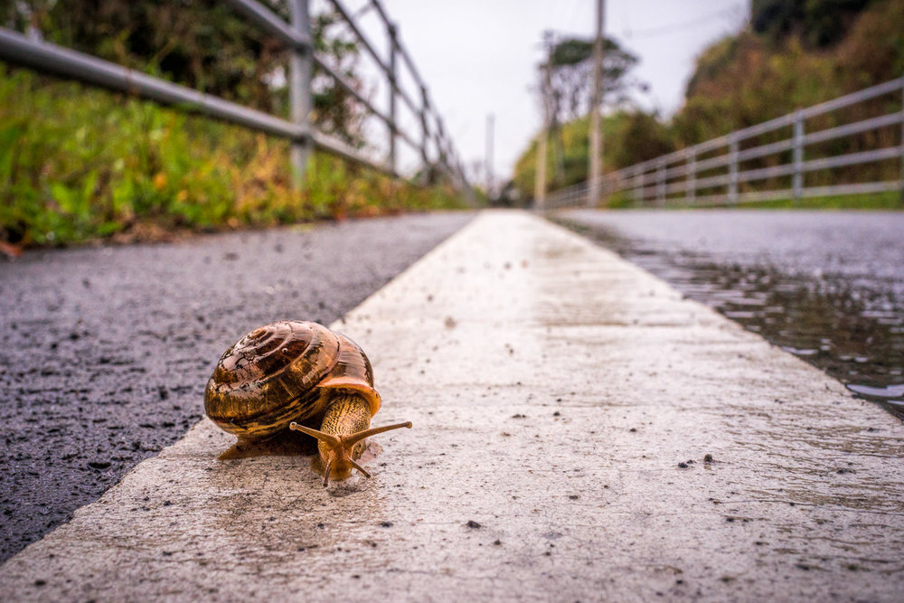 """Day 26, March 25, 2017: A Wet Day on the Kochi Coast. Great """"walking"""" weather for snails, a little wearisome for human pedestrians. I moved this guy to the safety of the verge after making this shot & before I sought refuge in one of the rare convenience stores with internal seating. Snails, of course, are blessed with their own shelter."""