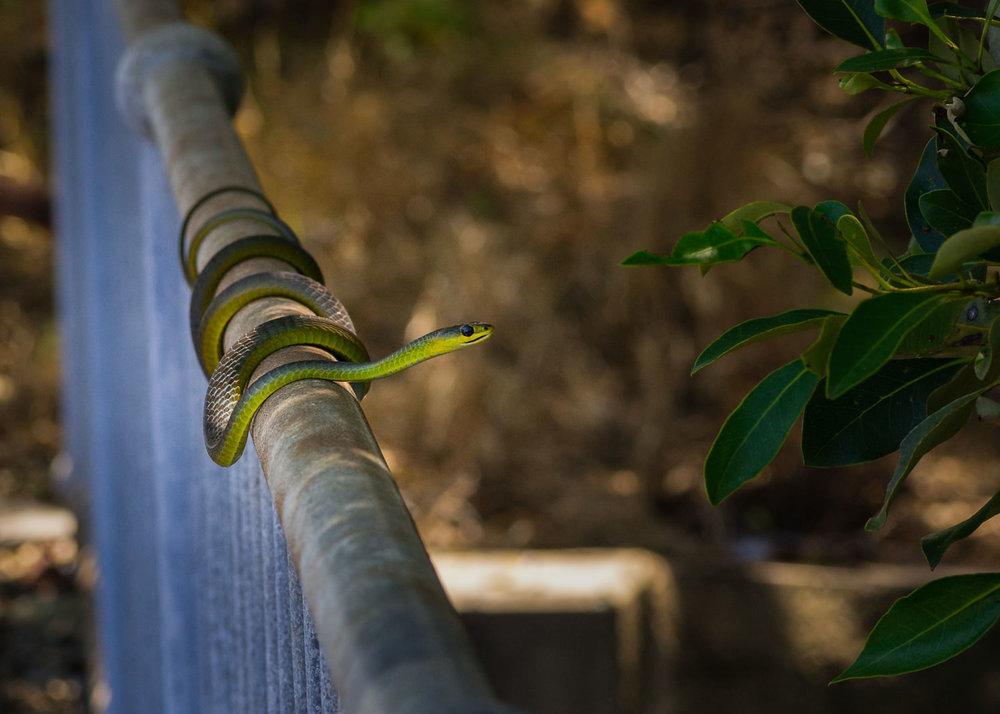 treesnake-in-mangroves-1.jpg