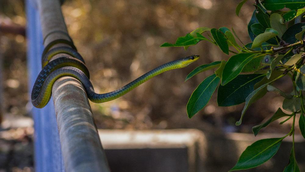 treesnake-in-mangroves-2.jpg