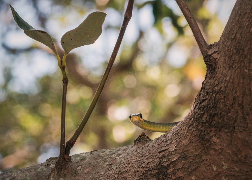 treesnake-in-mangroves-6.jpg