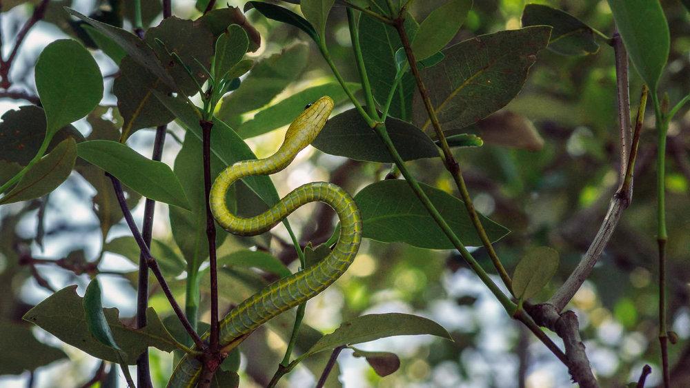 treesnake-in-mangroves-7.jpg