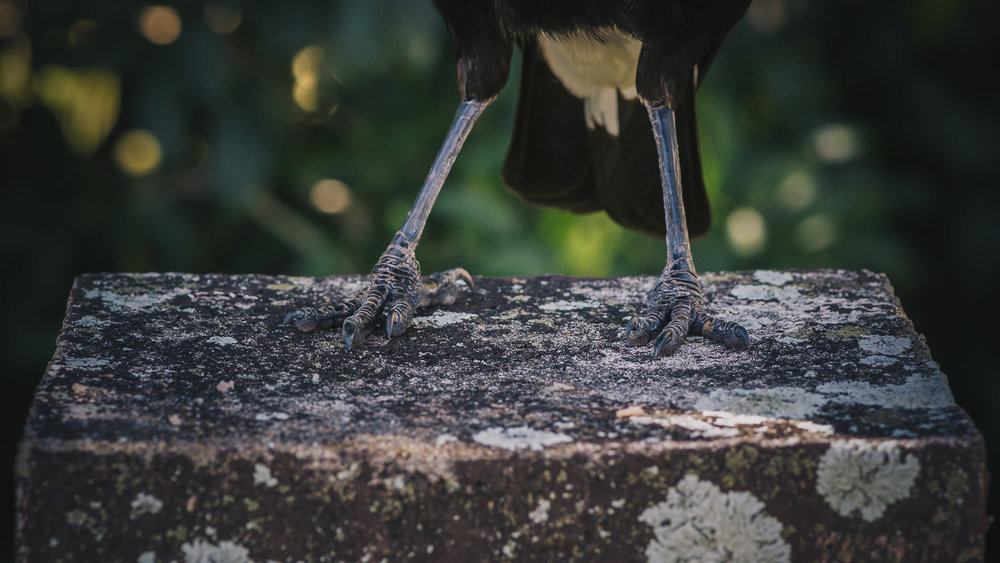 Maggs's feet as she greeted me in the front yard on my return. Bird feet fascinate me. You can really see the dinosaur in those wondrously armoured apendages.