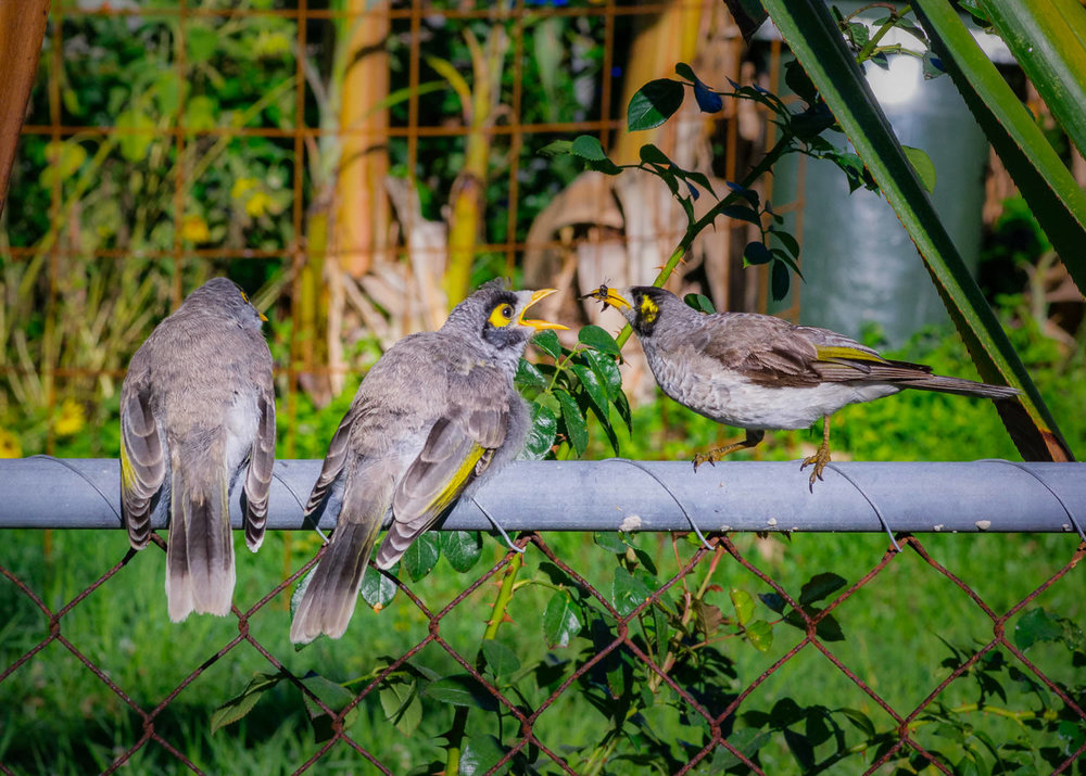 A noisy miner parent (right) feeding his/her twins a freshly caught bug. The miners (the name is surely an old corruption of mynah) are annoying pests to most other birds, constantly harassing them in noisy mobs, but scenes like this have endeared them to me a little.