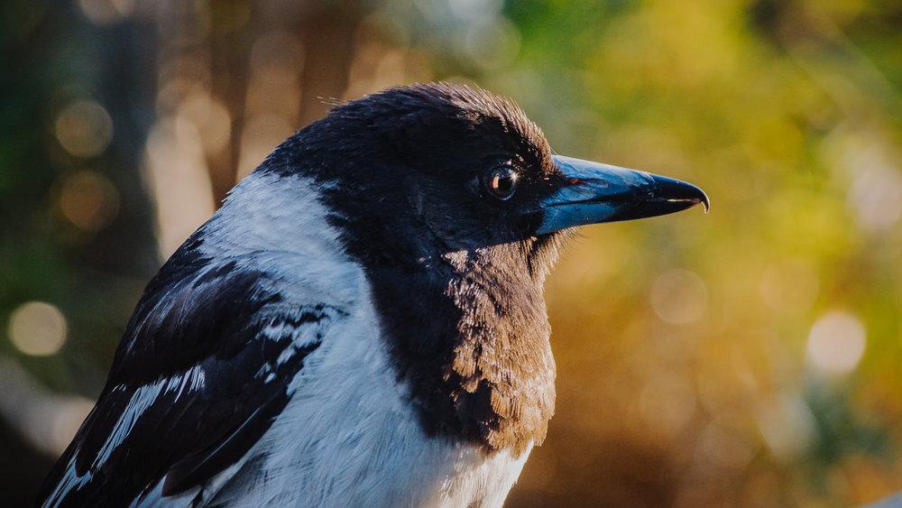 Widgie the pied butcherbird in late-afternoon sunshine.