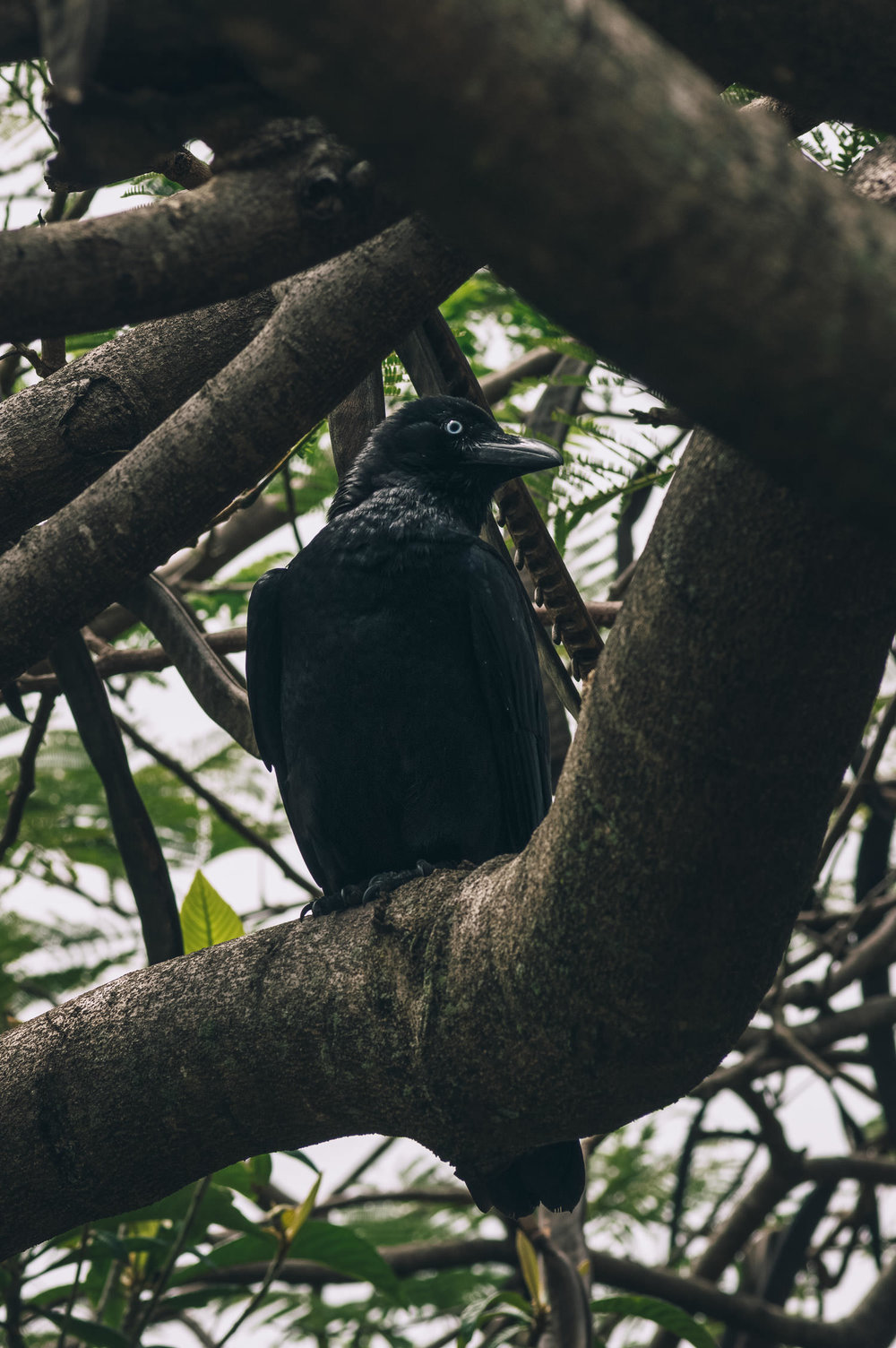 A local crow I've befriended, checking me out from a poinciana tree. The owner of this property, an older lady, died earlier this year; her house was quickly sold and the property subdivided. I fear for the long-term survival of this tree and her other garden vegetation.