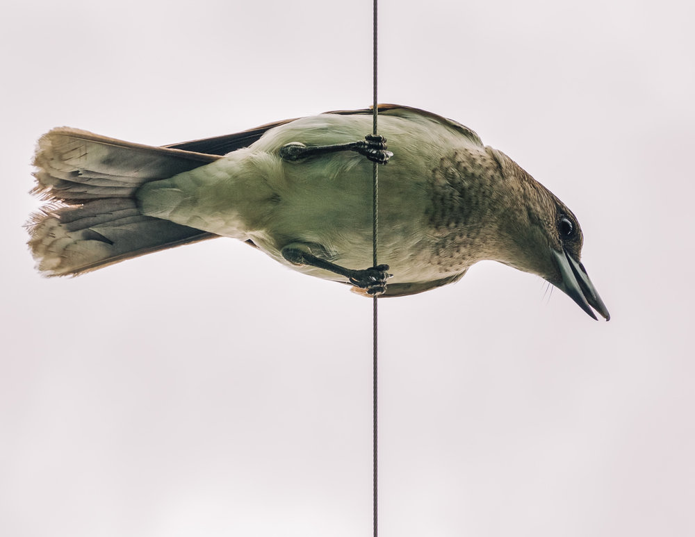 A juvenile (& very whiny) pied butcherbird doing its trapese act in our yard.
