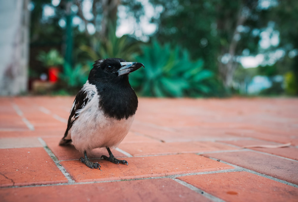Bodgie the pied butcherbird showing his distinctive haircut on our driveway (RX1).