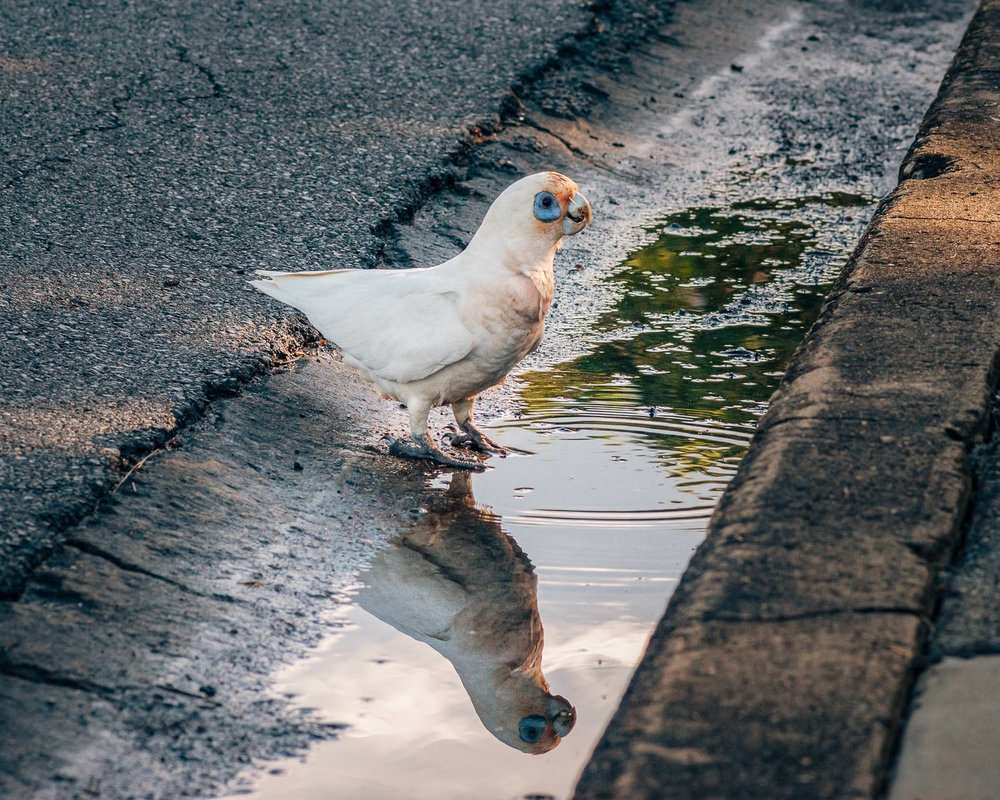 A corella taking a drink in a handy puddle.