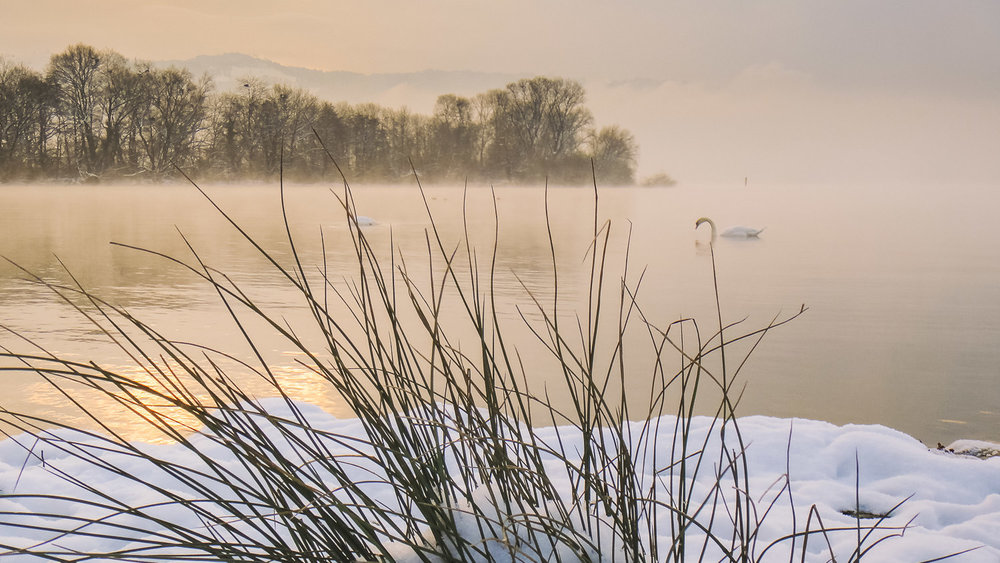 Swans on a winter's dawn patrol the Zugersee (Lake Zug) near Cham.