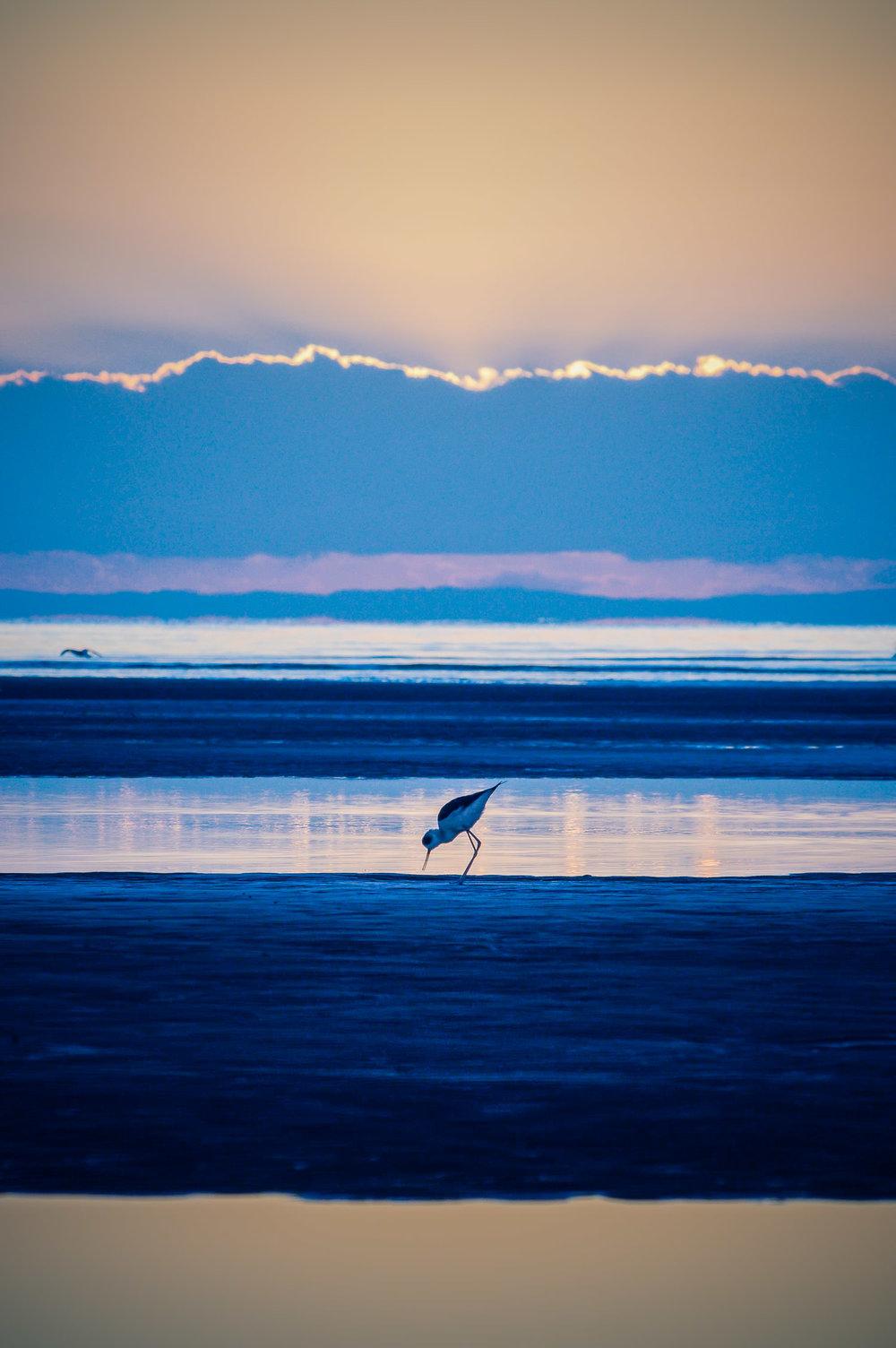 A black-winged stilt on the Sandgate mudflats at sunrise.