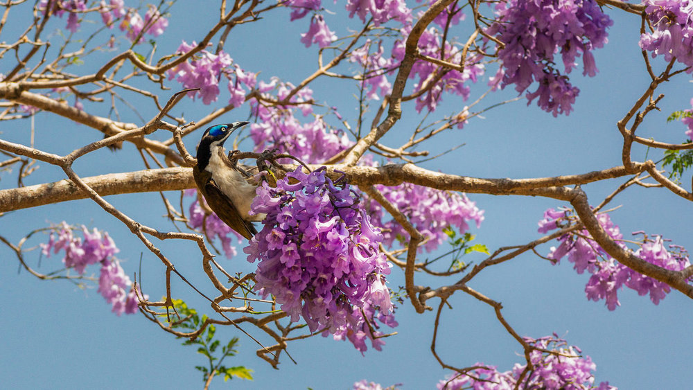 Blue-faced honeyeaters go crazy for the spring jacaranda blossoms in Deagon.
