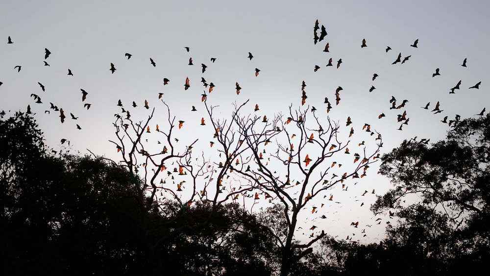 Little red flying foxes heading out for supper at dusk not far from home.