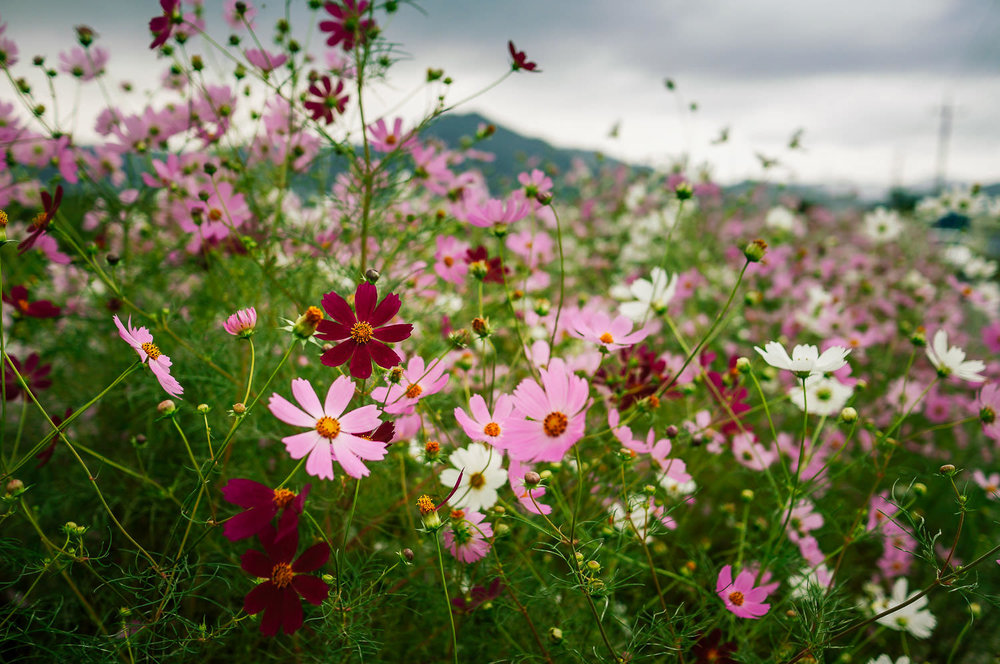 Cosmos thicket on a rural road, Jangyu.