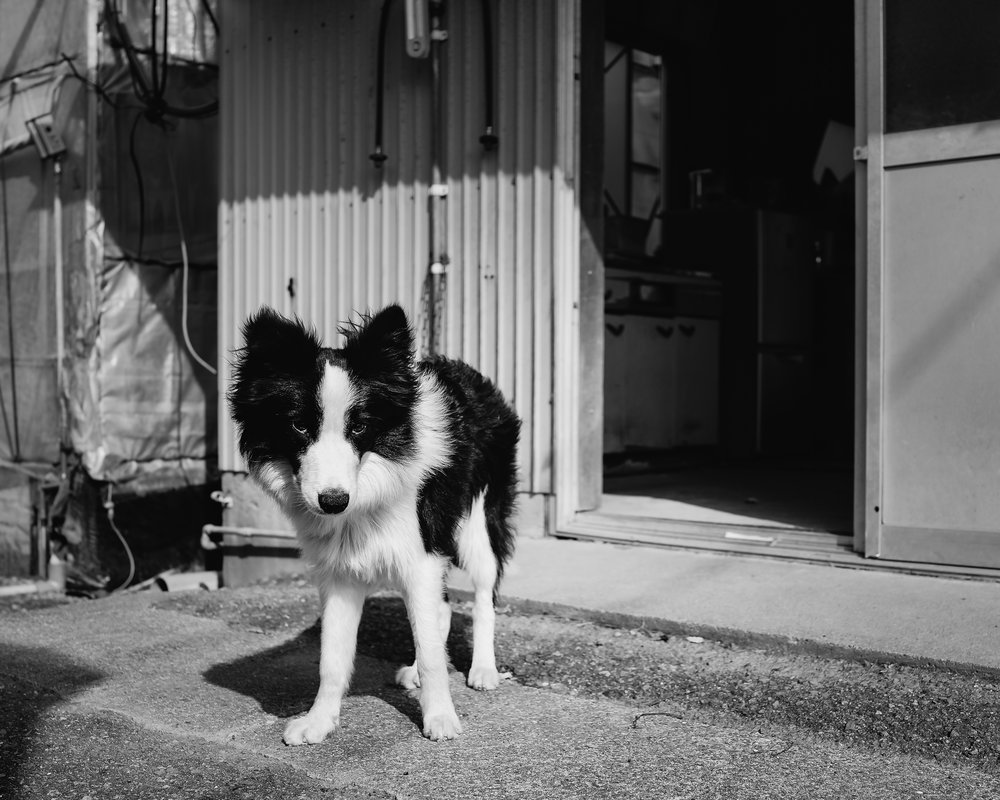 Day 32: A sweet-natured border collie at a farm on the sun-baked road approaching the Kochi coast. Most farm dogs are nowhere near this approachable.