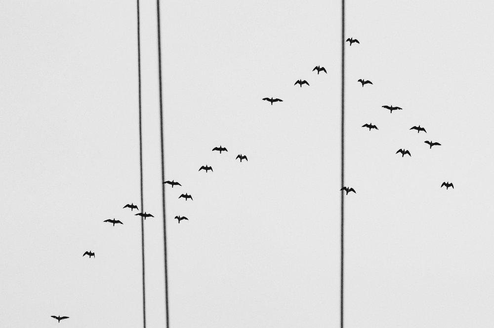 Little Black Cormorants in the Express Lane, Deagon